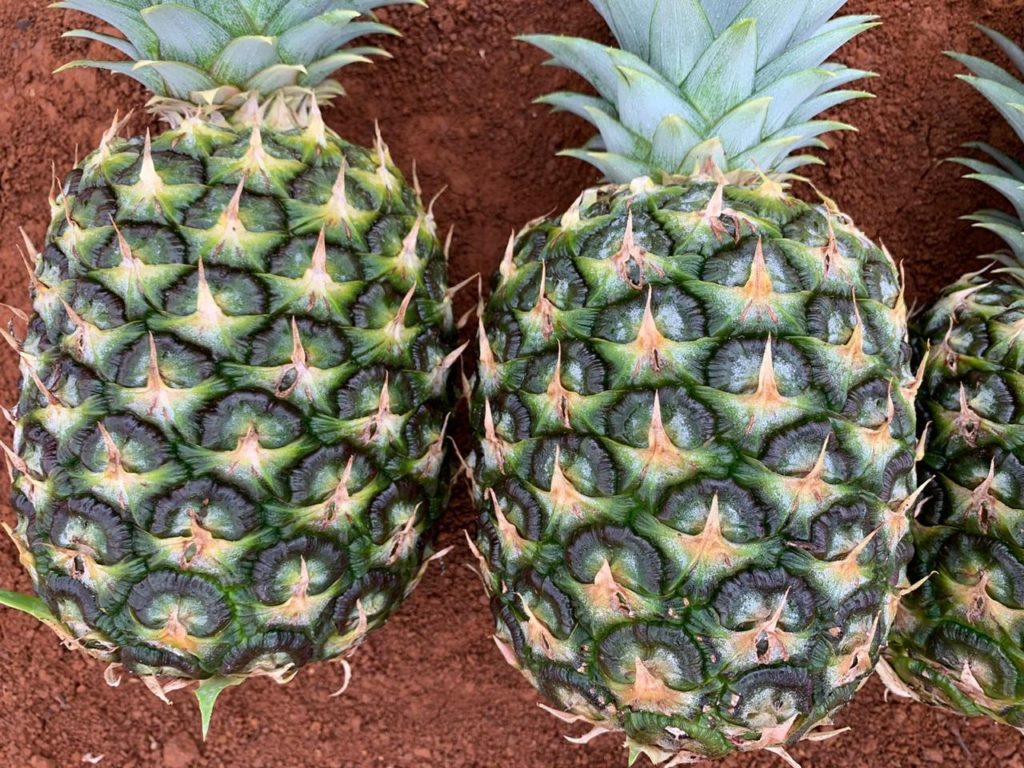 Farm and Pineapple Quality control