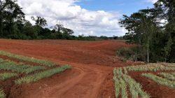 pineapple land preparation